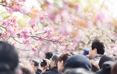 大阪造幣局 桜の通り抜け 開催日程 期間 花見日和 混雑 時間 開花状況 ライトアップ アクセス 行き方 場所 今年の花 牡丹 類嵐 駐車場 たぐいあらし 最寄駅 平日