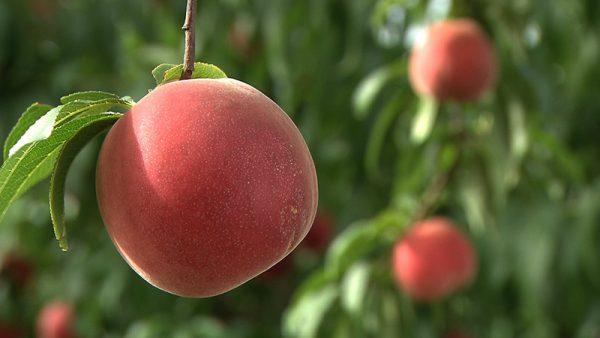 桃狩り(園内30分食べ放題) 王将果樹園
