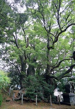 よ~いドン! たむらけんじ 日帰りツアー 10月10日 高知 須崎 大谷の樟
