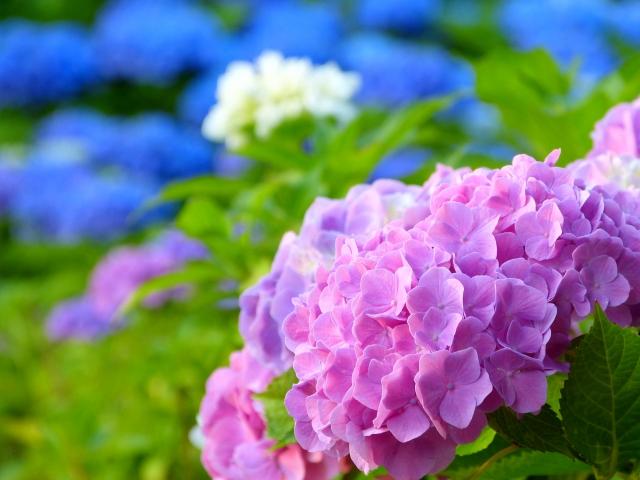 朝だ!生です旅サラダ ゲストの旅 6月23日 秋田 紫陽花