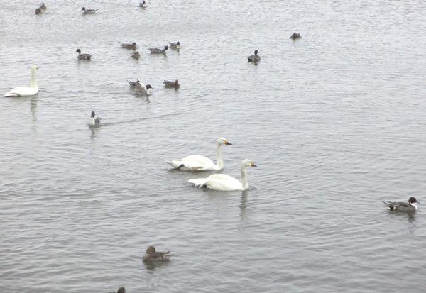 福島 猪苗代湖 白鳥