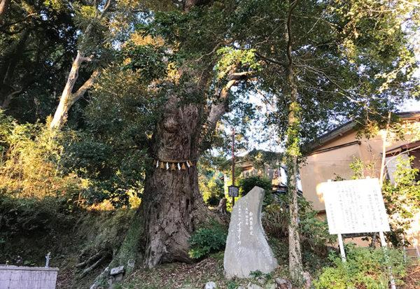 修善寺 日枝神社 一位樫