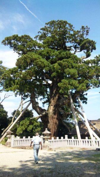 八百杉 よーいどん おすすめ3 島根 隠岐の島 クラブツーリズム