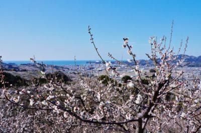 おはよう朝日 土曜日 バスツアー 和歌山 いちご狩り クエ マグロ 熊野牛 南部梅林