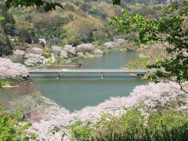 千葉 南房総 佐久間ダム湖親水公園 桜