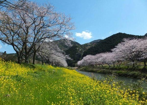 松崎町 那賀川桜並木