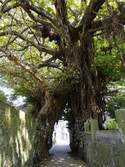 五島列島 中通島 奈良尾神社 あこう樹
