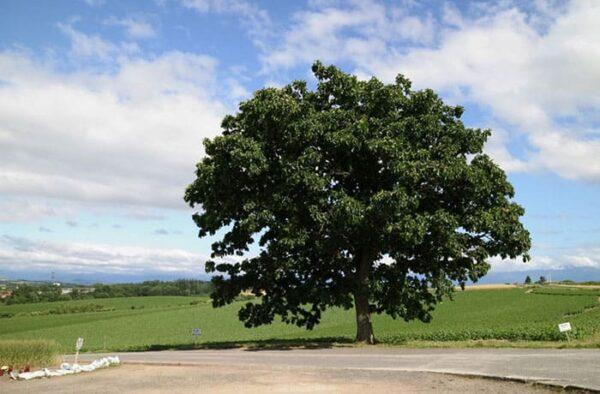 北海道 美瑛 セブンスターの木