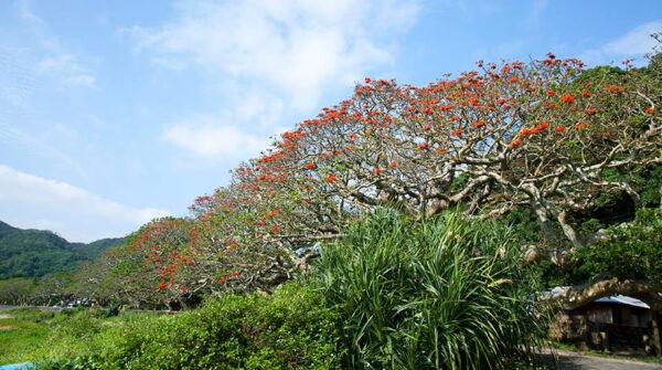 鹿児島 奄美 加計呂麻島 デイゴ並木