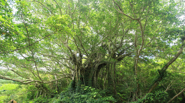 鹿児島 奄美 加計呂麻島 武名のガジュマル