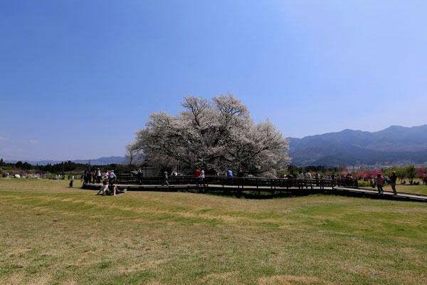 熊本 南阿蘇 一心行の大桜